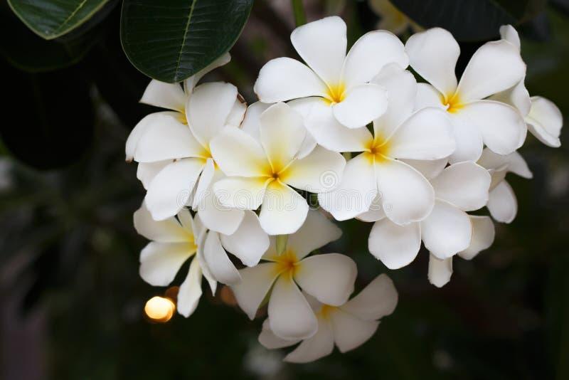Witte plumeria op de boom stock afbeeldingen