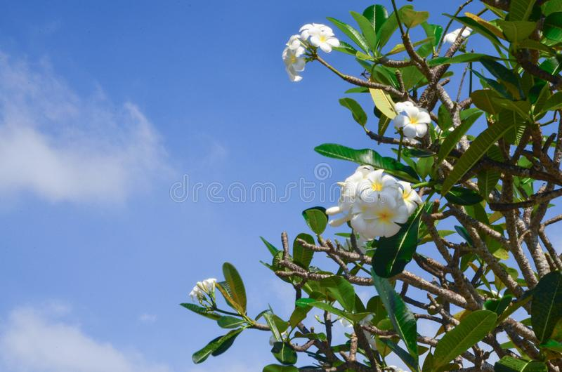 Witte plumeria tegen een blauwe hemel royalty-vrije stock foto