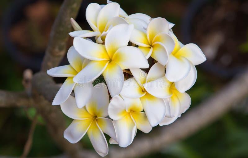Witte plumeriabloemen stock fotografie
