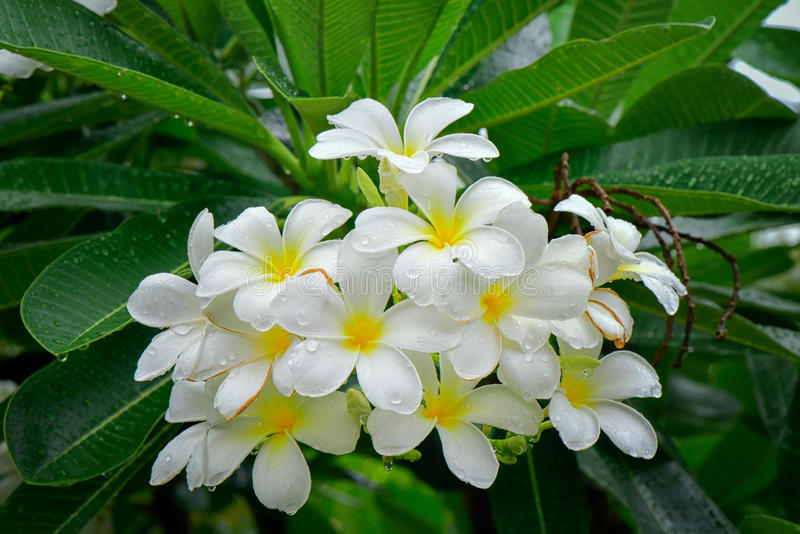 Witte plumeriabloemen met dauw in aard royalty-vrije stock foto's