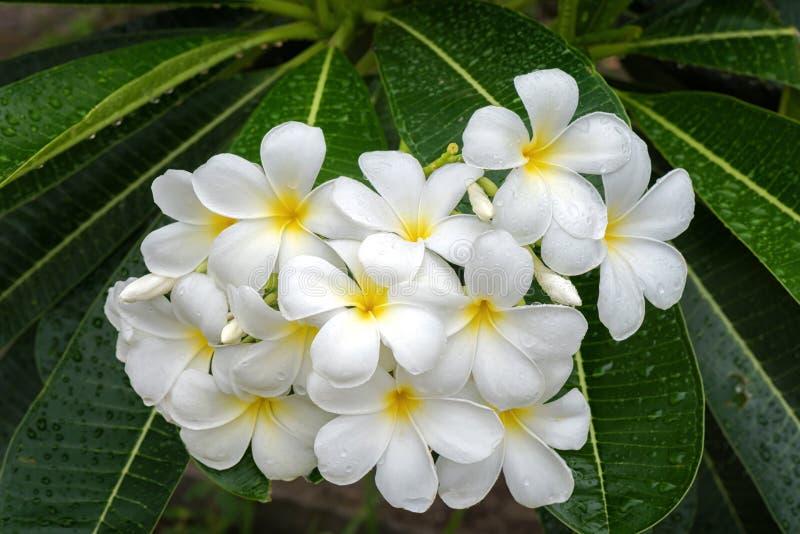 Witte plumeriabloemen met dauw na regenachtig royalty-vrije stock afbeelding