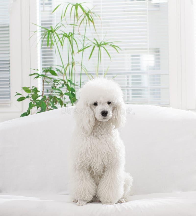 Witte poedel royalty-vrije stock afbeelding