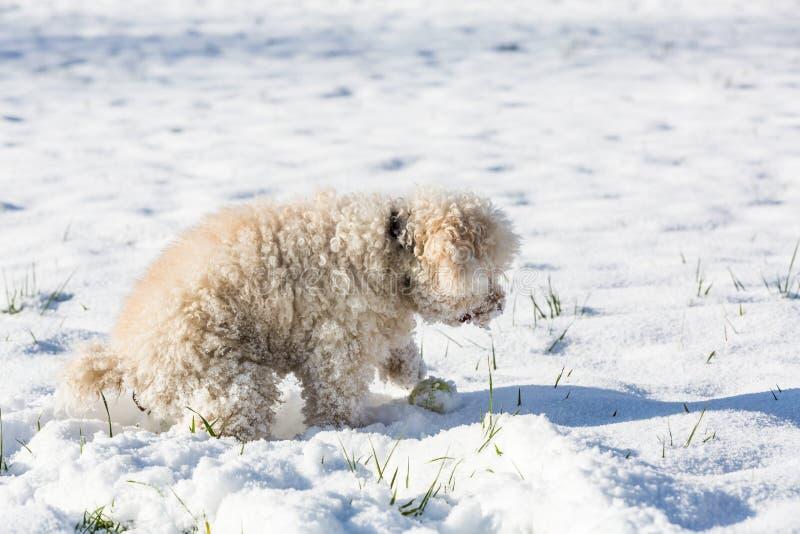 Witte poedel stock fotografie