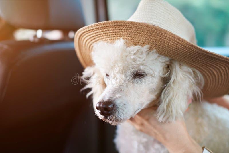 Witte poedel in brede hoed royalty-vrije stock afbeeldingen