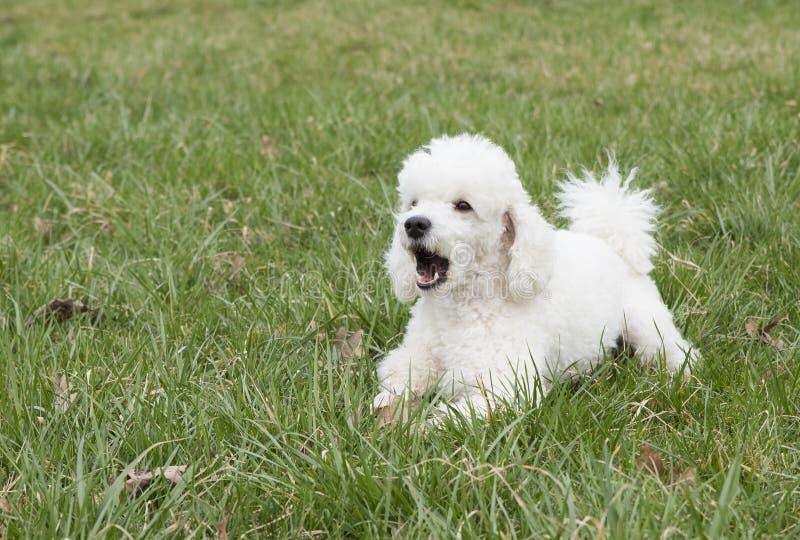 Witte poedel in het gras royalty-vrije stock afbeeldingen