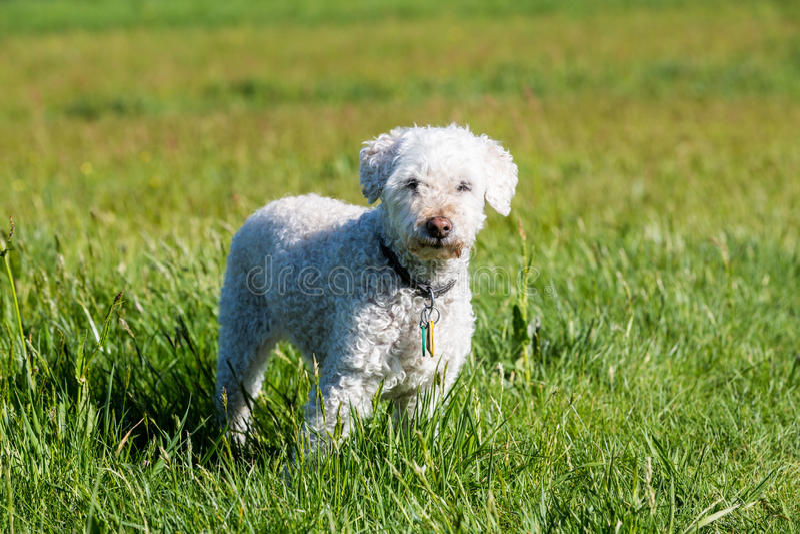 Witte poedel op weide royalty-vrije stock foto's