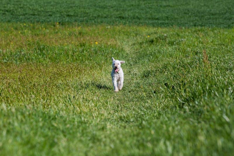 Witte poedel op weide stock afbeelding