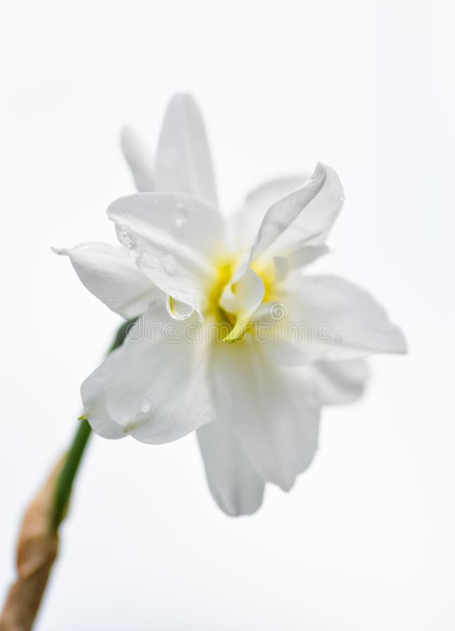 Witte poeticus van gele narcisnarcissen die op witte achtergrond wordt ge?soleerd Het volledig open hoofd van de gele narcisbloem royalty-vrije stock afbeelding