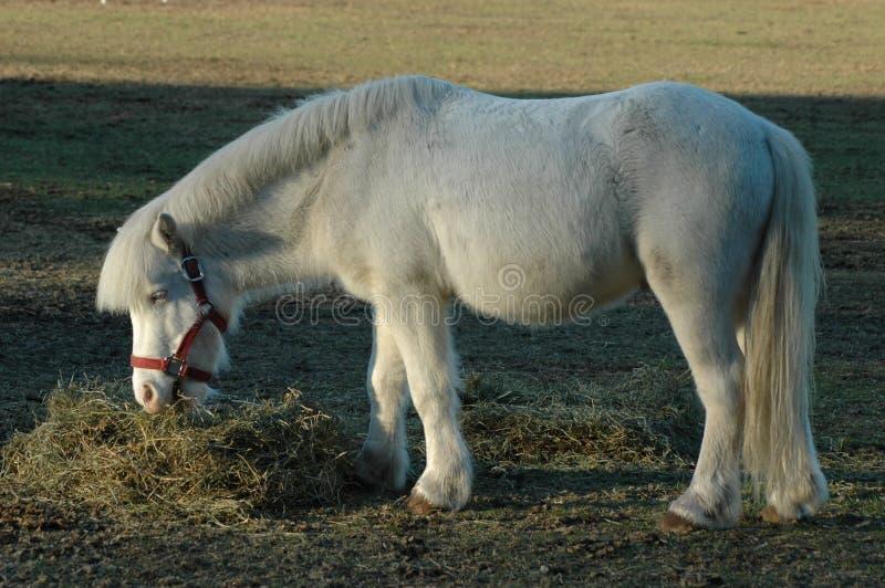 Witte poney royalty-vrije stock fotografie