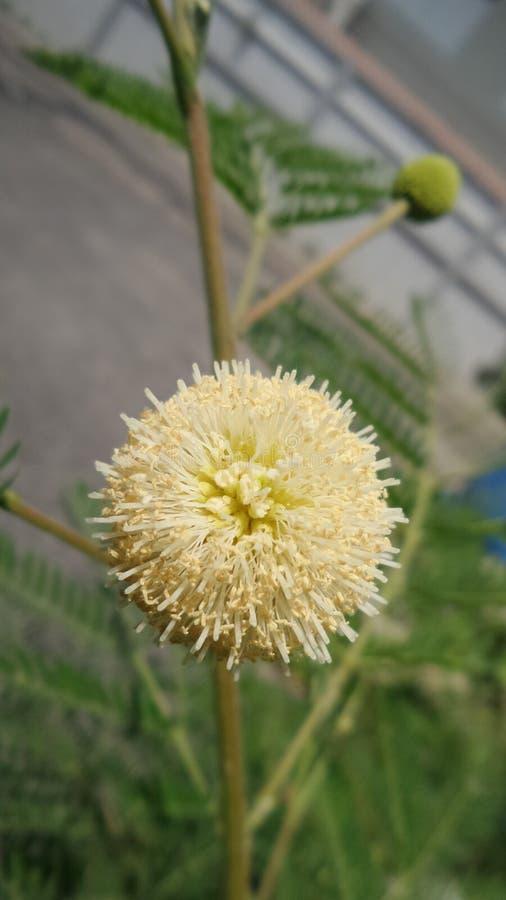 Witte Popinac-bloem royalty-vrije stock afbeelding