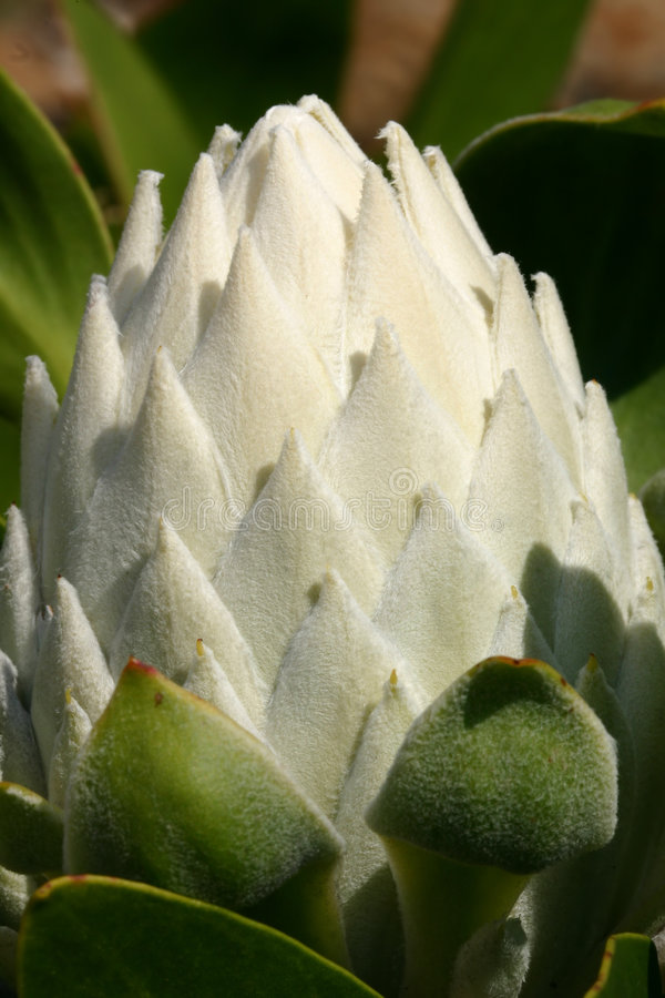 Witte Protea Cynaroids - knop royalty-vrije stock afbeelding