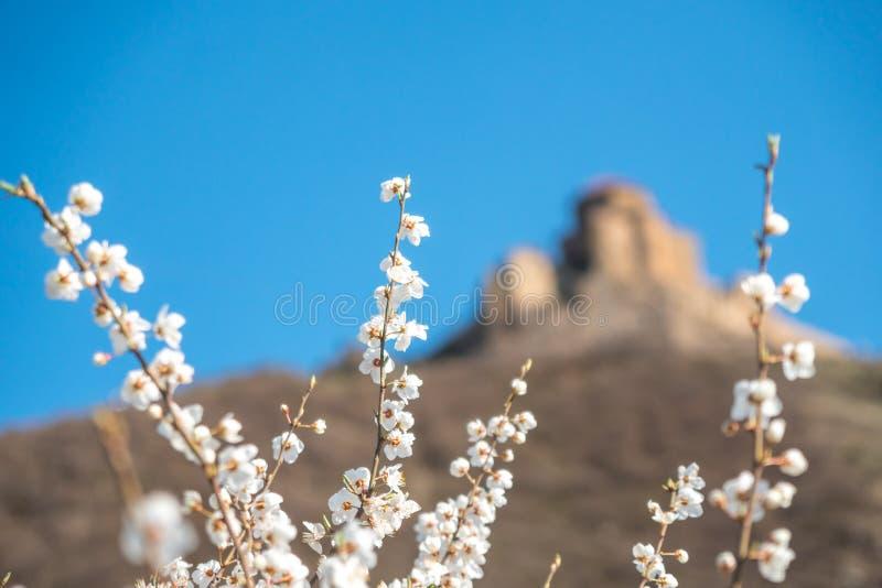 Witte pruimbloemen op blauwe hemel en de oude achtergrond van kerkjvari royalty-vrije stock foto's