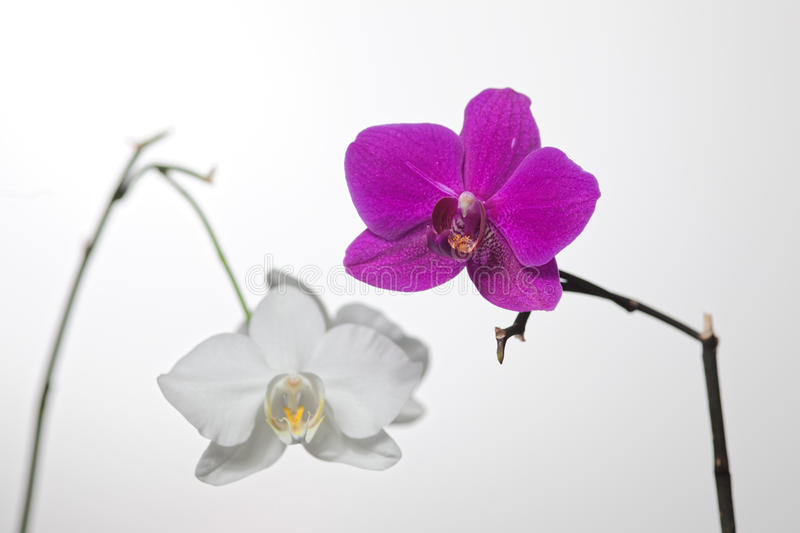 Witte Purpere Orchidee royalty-vrije stock afbeelding