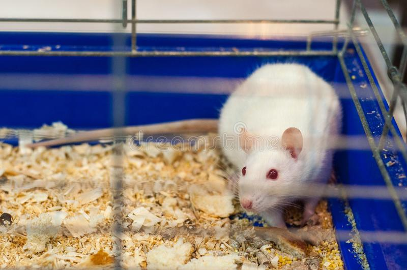 Witte rat in de oude kooi royalty-vrije stock afbeeldingen