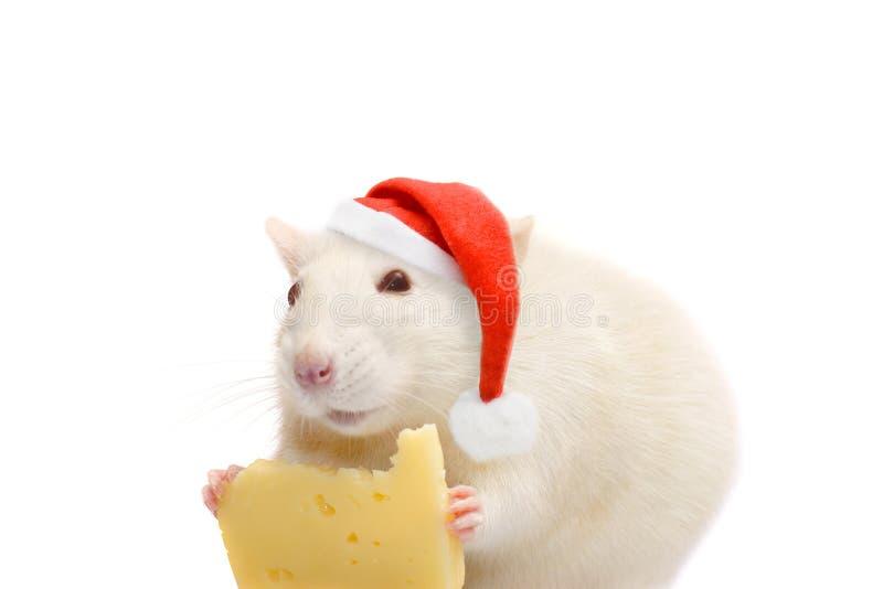Witte rat in santa-hoed en kaas op witte achtergrond royalty-vrije stock afbeelding