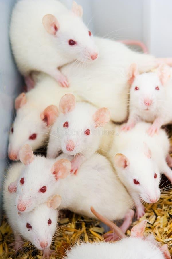 Witte ratten royalty-vrije stock afbeeldingen