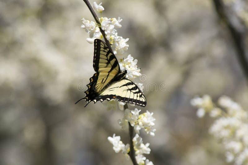 Witte Redbud-Bloesem met Oostelijke Swallowtail stock foto