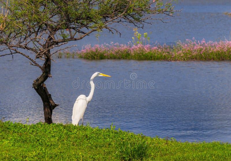 Witte Reiger en kleine boom op de kust van een meer stock foto