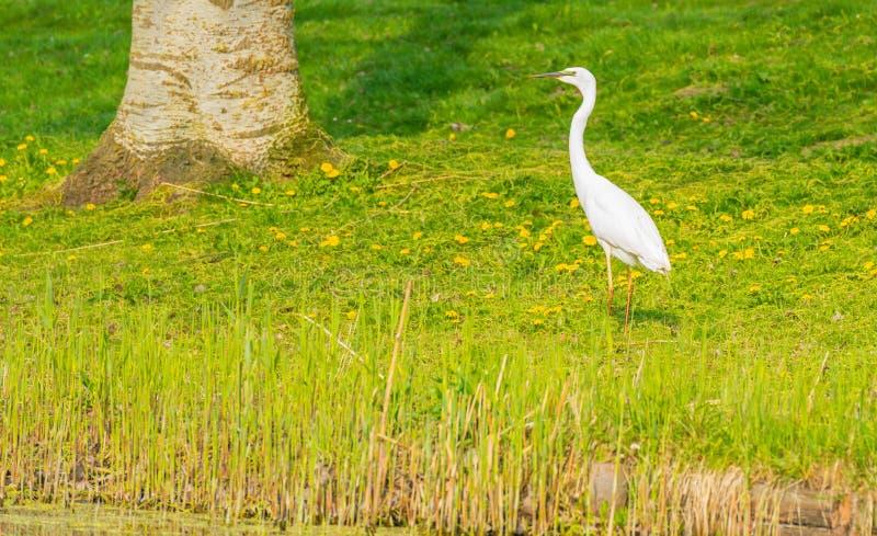 Witte reiger op de kust van een rivier royalty-vrije stock fotografie