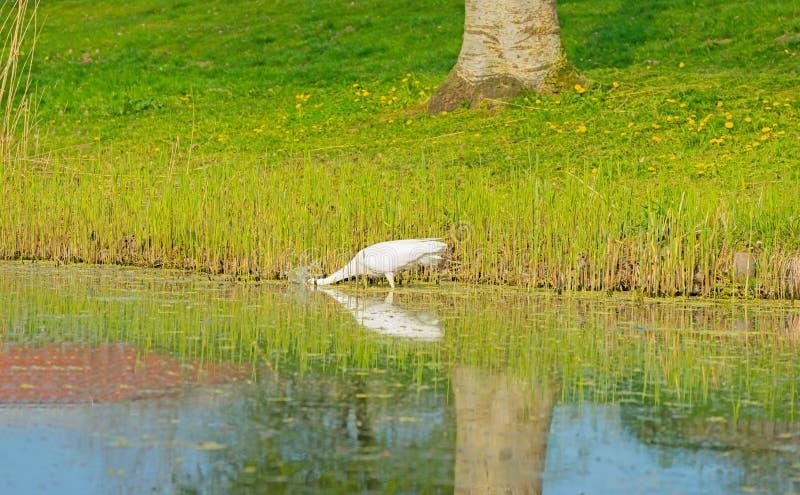 Witte reigerspears een vis in een rivier stock fotografie