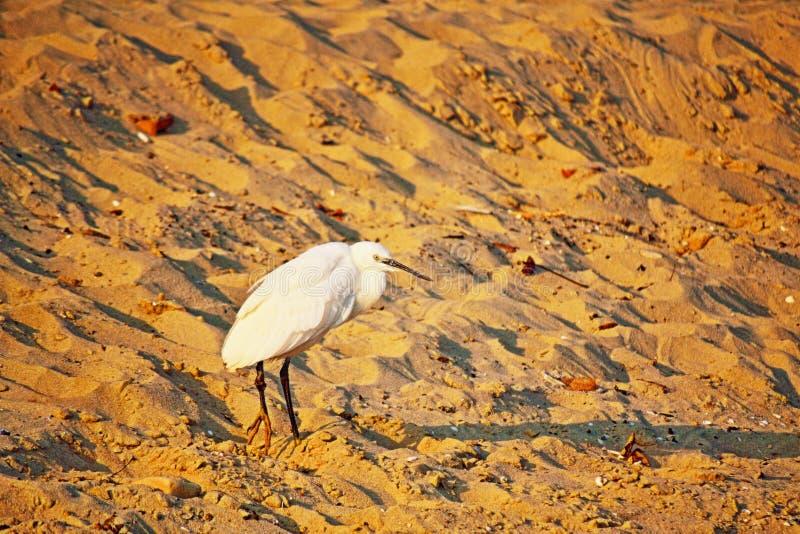 Download Witte Reigervogel Op Zandig Strand Stock Afbeelding - Afbeelding bestaande uit zwart, achtergrond: 107701047