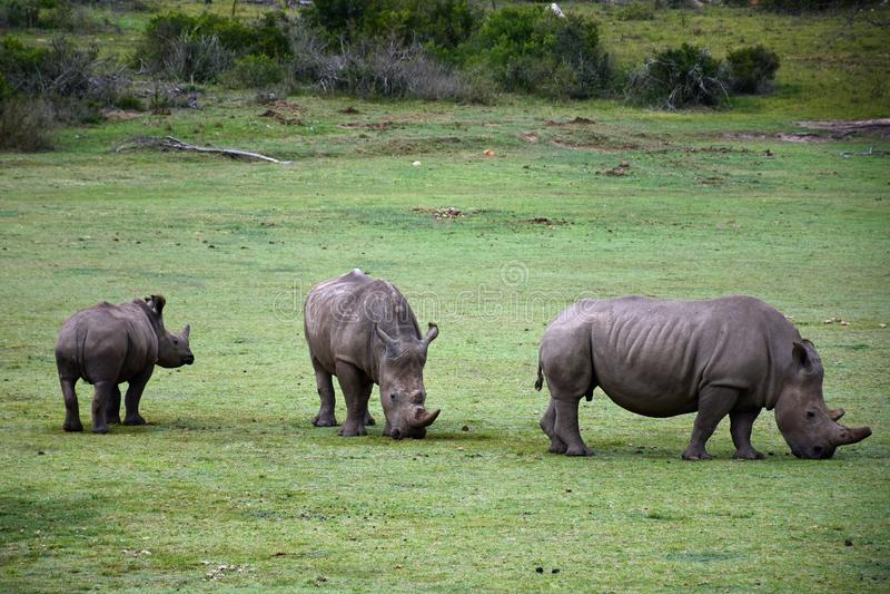 Witte Rhiniceros, Botlierskop-Reserve, Zuid-Afrika stock afbeelding