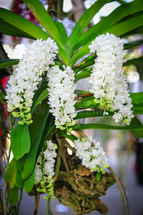 Witte Rhynchostylis-Orchidee royalty-vrije stock foto