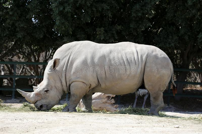 Witte Rinoceros stock afbeeldingen