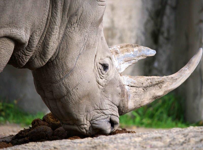 Witte Rinoceros royalty-vrije stock foto's