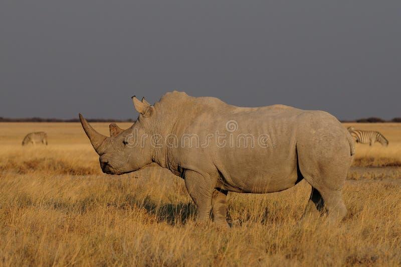 Witte rinoceros bij de weide stock foto's