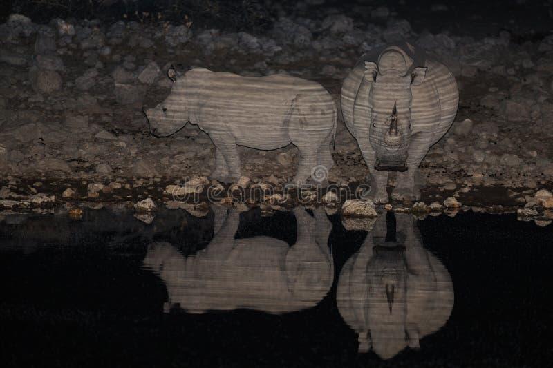 Witte rinoceros bij nacht, etosha nationalpark, Namibië stock foto