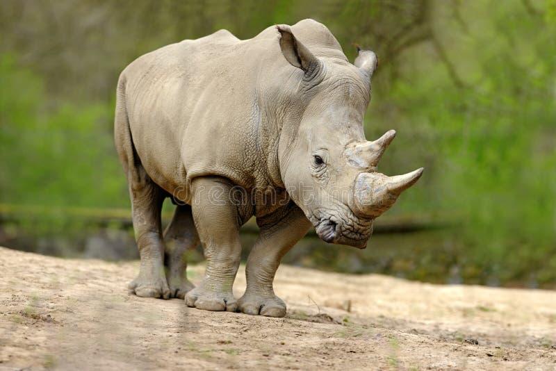 Witte rinoceros, Ceratotherium-simum, met grote hoorn, Afrika royalty-vrije stock afbeelding