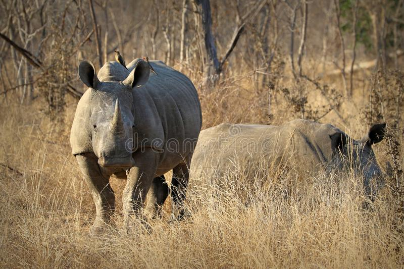 Witte rinoceros/rinoceros, die met zijn reusachtige hoorn pronken Beroemde wijngaard Kanonkop dichtbij schilderachtige bergen bij stock afbeeldingen