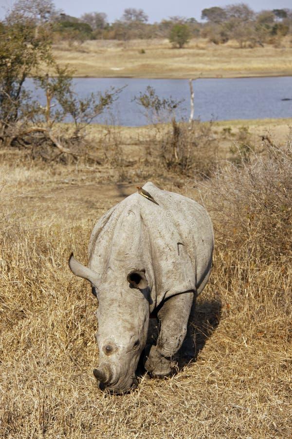 Witte Rinoceros die - onder ogen ziet weidt die royalty-vrije stock foto