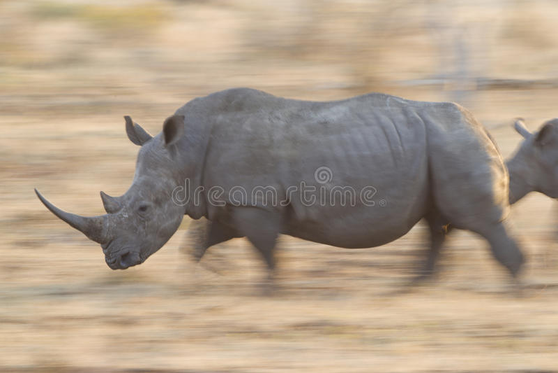 Witte Rinoceros die, Zuid-Afrika loopt stock foto
