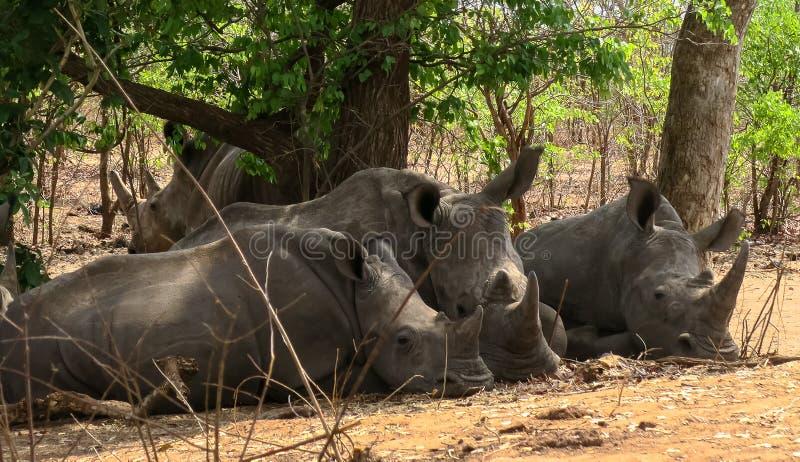 Witte rinoceros drie die onder een boom liggen royalty-vrije stock afbeeldingen
