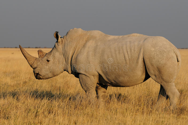 Witte rinoceros, etosha nationalpark, Namibië stock afbeeldingen