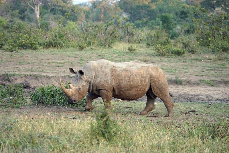 Witte Rinoceros in het Nationale Park van Kruger stock afbeelding