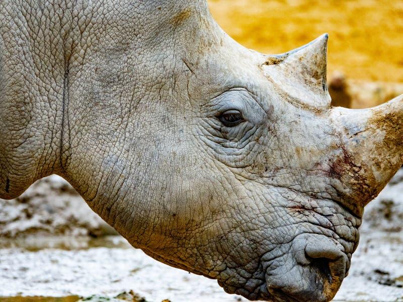 Witte Rinoceros hoofd dichte omhooggaand stock afbeelding