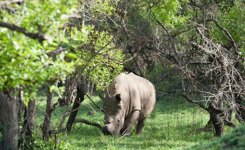 Witte Rinoceros, Oeganda royalty-vrije stock afbeeldingen