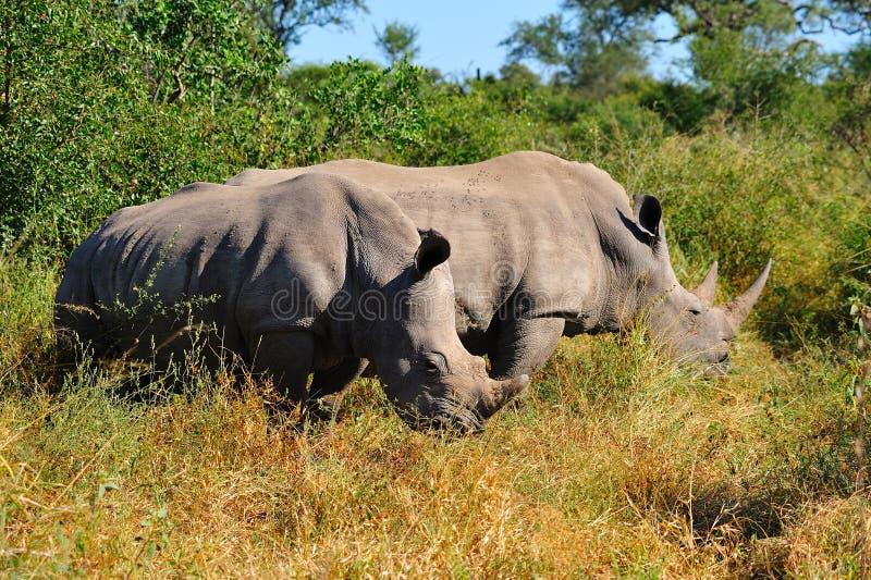 Witte Rinoceros (simum Ceratotherium) royalty-vrije stock foto's