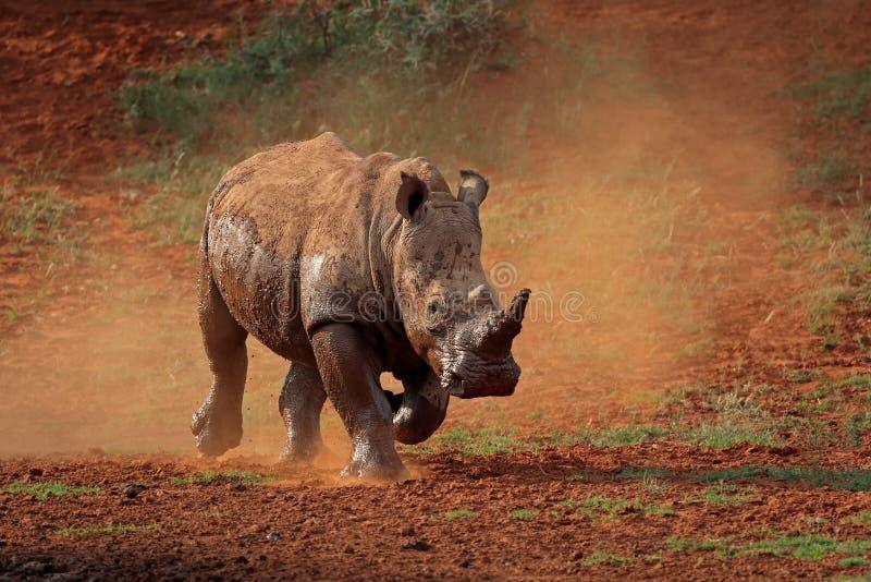Witte rinoceros in stof royalty-vrije stock fotografie