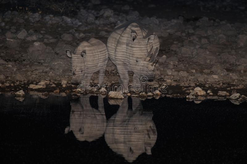Witte rinocerosfamilie bij nacht, etosha nationalpark, Namibië royalty-vrije stock afbeeldingen