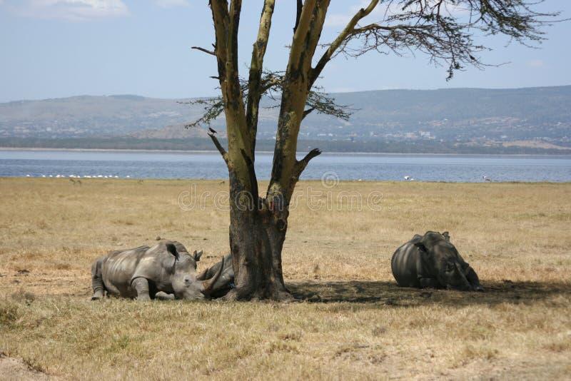 Witte rinocerossen royalty-vrije stock fotografie