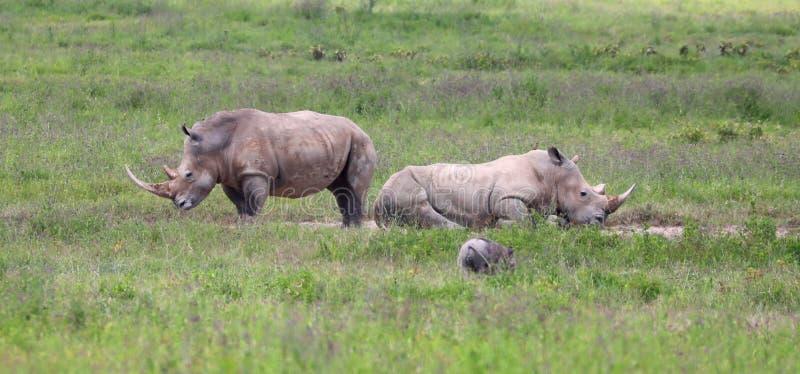 Witte rinocerossen in het spelpark van Kenia stock foto's