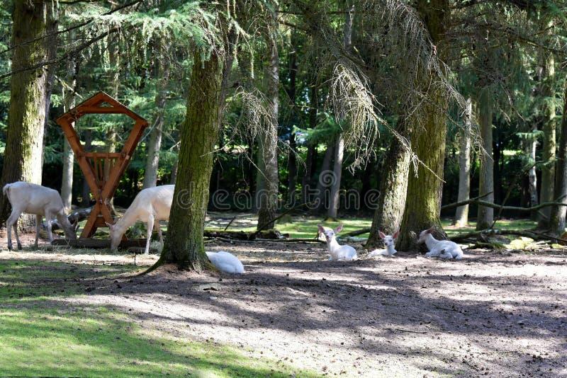 Witte rode deers en hun babys op de het voeden plaats stock foto