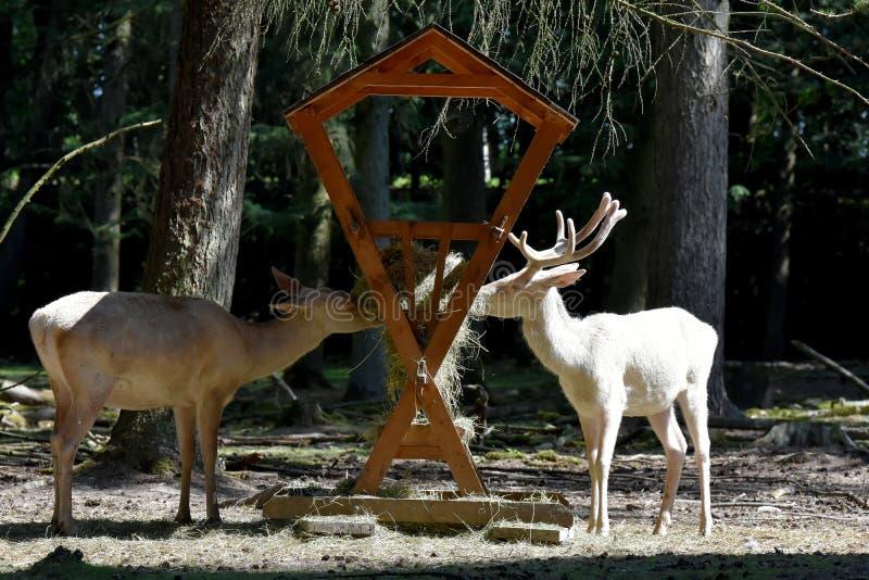 Witte rode deers op de het voeden plaats stock foto