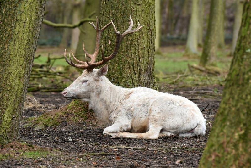 Witte rode herten of wit mannetje stock foto's