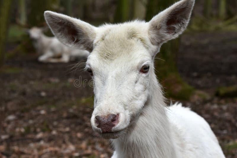 Witte rode herten of witte achterste royalty-vrije stock fotografie