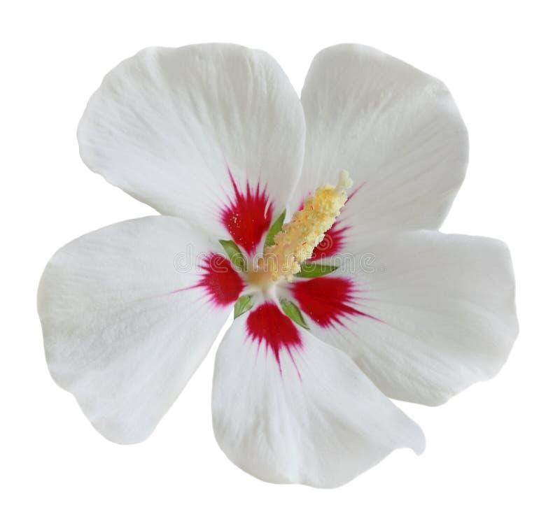 Witte Rode Hibiscus royalty-vrije stock foto's